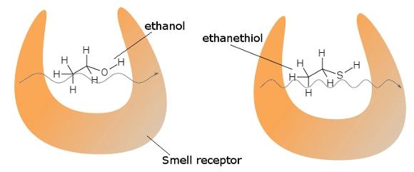 Koku reseptörleri bir karakteristik bir titreşime neden olan moleküllere karşı küçük bir tünelleme akımıyla benzer şekilli moleküller arasındaki farklılıkları algılayabilir.