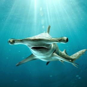 Çekiç kafalı köpekbalığı. Kaynak: http://ltastudent.lodiusd.net/