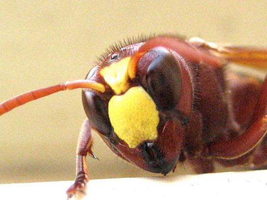 Doğulu eşek arısı. Wikimedia Commons