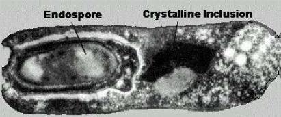 endospore