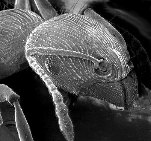 Bir karıncanın taramalı elektron mikroskobu altındaki görüntüsü. Kaynak: courtesy of the U.S. Geological Survey